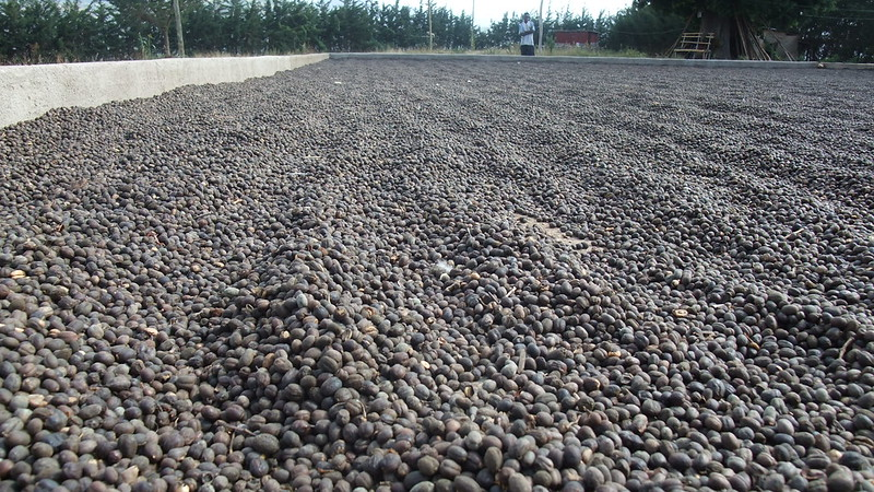 Cherry Processing- Dry coffee processing